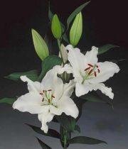 Lily Oriental, Rialto-white