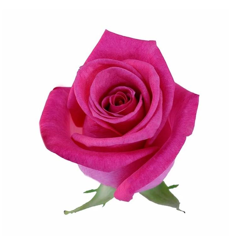 Orlando Roses