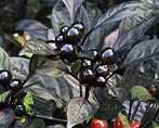 Peppers, Ornamental-black