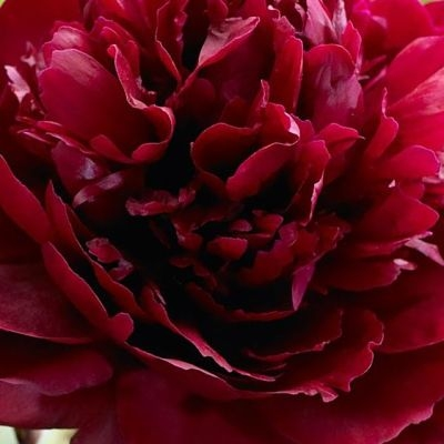 wholesale flowers | peony- red charm