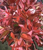 Photinia, Tall-red