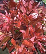 Photinia, Tall-red