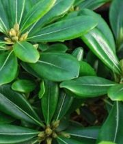 Pittosporum-green