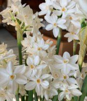 Narcissus, Paperwhite-white