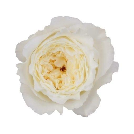 Patience Garden Rose