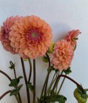 Dahlias, Field-peach