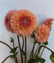 Dahlias, Field-peach