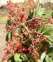 Pepperberry, Upright-red