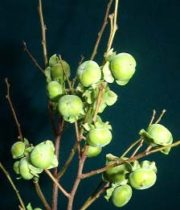 Persimmon Branches, Lotus-green