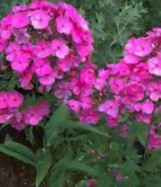 Phlox-hot Pink