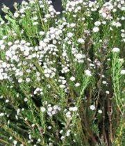 Phyllica, Cotton Bush-white
