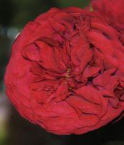 Piano Garden Rose, SA