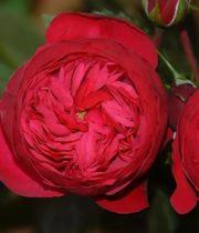 Rose Garden, Piano-SA