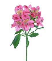 Alstroemeria-pink