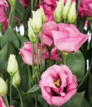 Lisianthus-pink