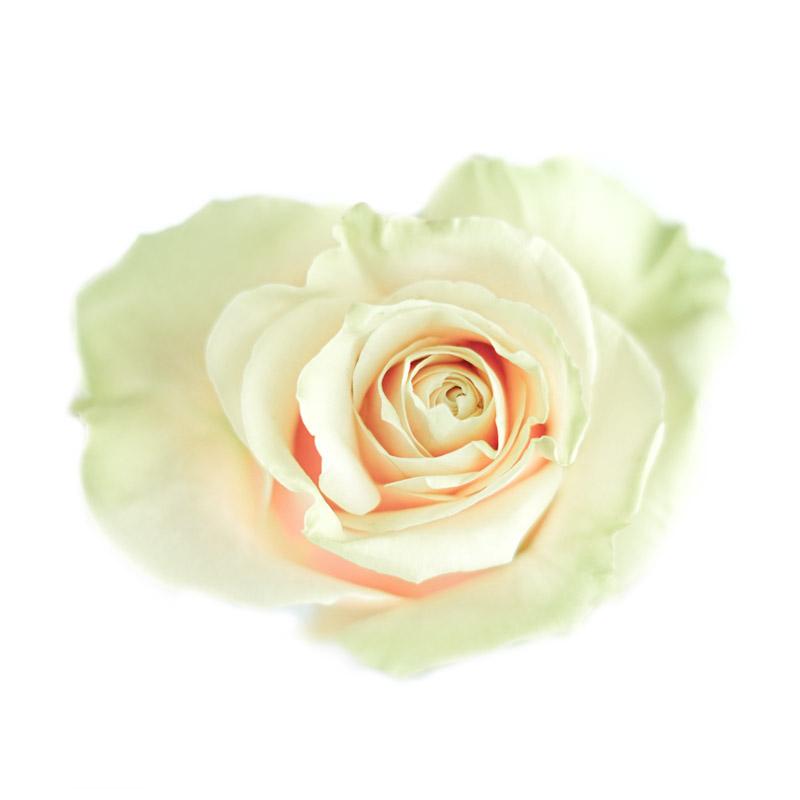 Pink Monidal Rose