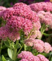 Sedum-pink