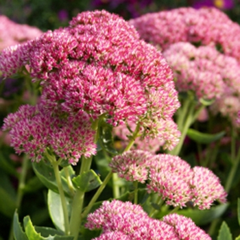wholesale flowers | sedum pink