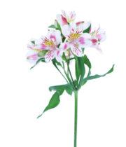 Alstroemeria-pink & White