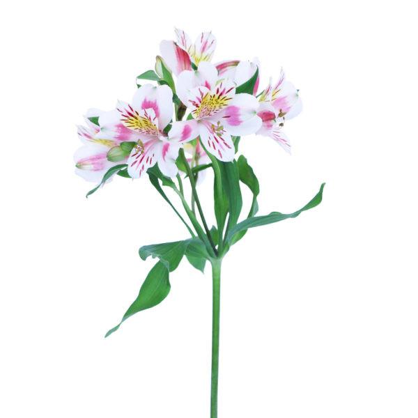 Pink and White Alstroemeria