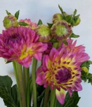Dahlias, Field-pink/yellow