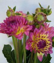 Dahlias, Field-pink/yellow