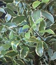 Pittosporum, Italian-variegated