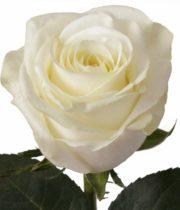 Rose, Polar Star-SA