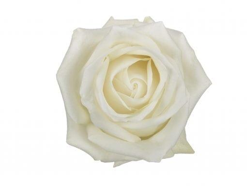 Polar Star Rose