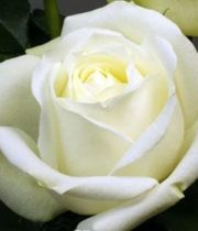 Rose, Polo-SA
