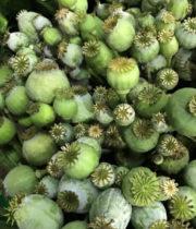 Poppy Pods-green