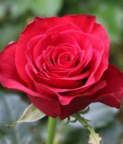 Rose, Prestige-CA