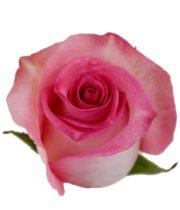 Rose, Priceless-SA