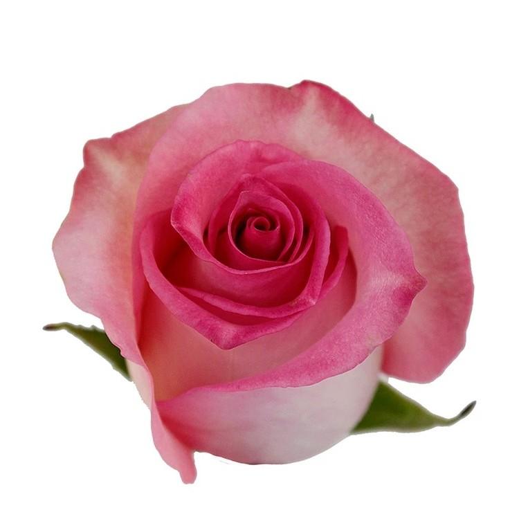 Priceless Roses