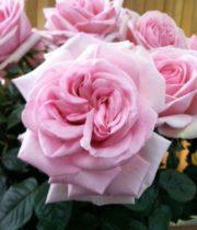 Rose Garden, Prince Jardinier-SA