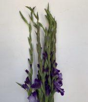 Gladiolus-purple
