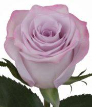 Rose, Purple Haze-SA