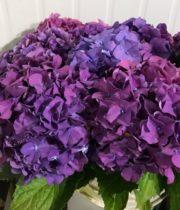 Hydrangea-purple