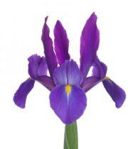 Iris-purple