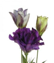 Lisianthus-purple