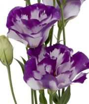 Lisianthus-white/purple