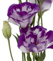 Lisianthus-white/purple