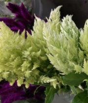 Celosia, Plumosa-green