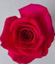 Rose, Queen Berry-SA