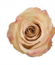 Rose, Quicksand-SA