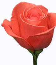Coral Movie Star 50cm Roses, SA