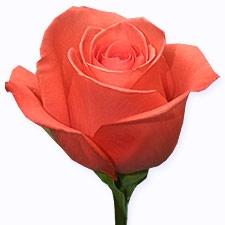 wholesale flowers | rose movie star