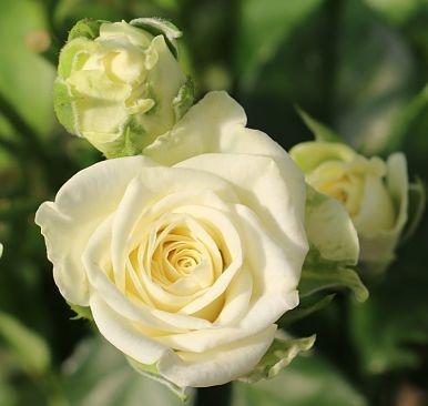 Snowflake-white-spray-rose