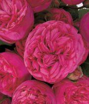 Rose Garden, Pink Piano-SA