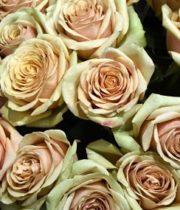 Rose, Golden Mustard-SA
